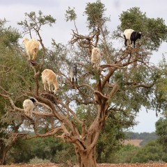 dave-watts-morocco-goats-trees